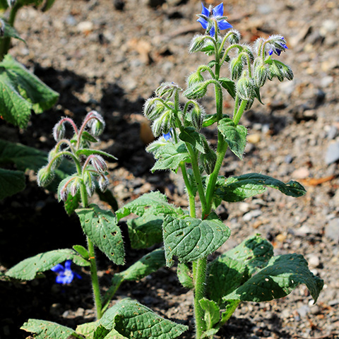 Borraja (Borago officinalis)