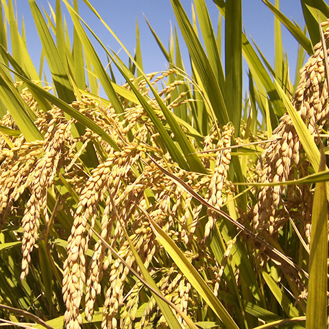 Arroz (Oryza sativa)